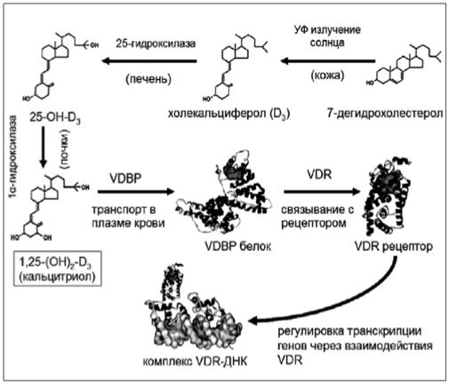 витамин D и его метаболизм